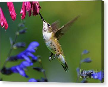 Canvas Print featuring the photograph Hummingbird On Wendy's Wish Flower by Kathy Baccari