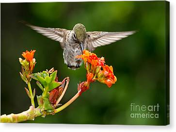 Hummingbird Canvas Print by Peter Dang