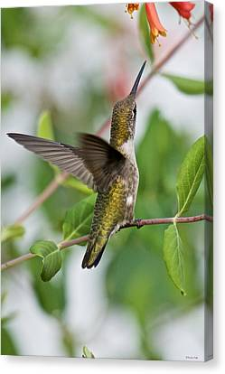 Hummingbird Reaching For The Blossoms Canvas Print