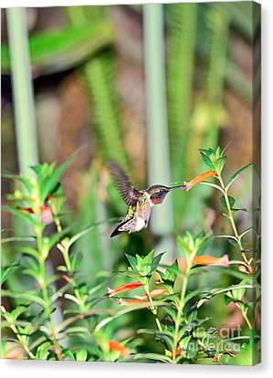 Hummingbird Ruby Throat At Cigar Orange Canvas Print by Wayne Nielsen