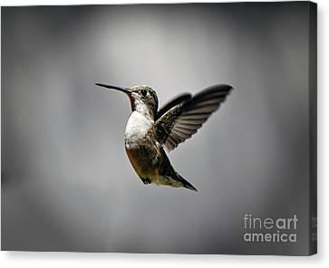 Hummingbird Canvas Print by Savannah Gibbs