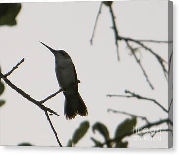 Hummingbird Silhouette 2 Canvas Print by Joy Hardee