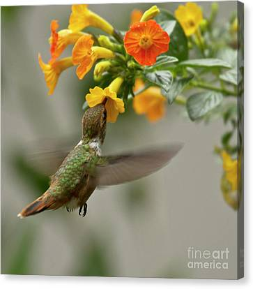 Flying Canvas Print - Hummingbird Sips Nectar by Heiko Koehrer-Wagner