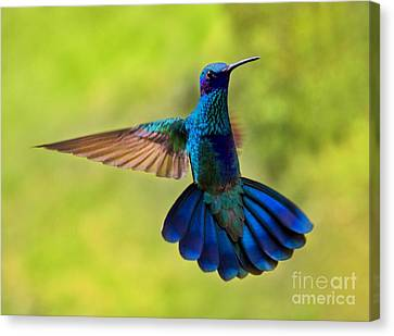 Hummingbird Splendour Canvas Print by Al Bourassa