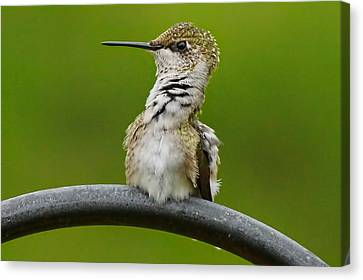 Hummingbird Stretching  Canvas Print by Alan Hutchins