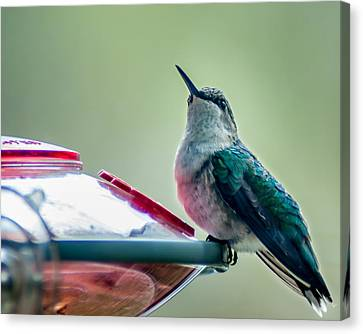Hummingbird Canvas Print by Todd Soderstrom