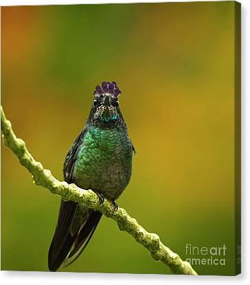 Hummingbird With A Lilac Crown Canvas Print by Heiko Koehrer-Wagner