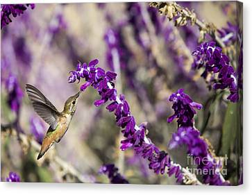 Hummingbird Collecting Nectar Canvas Print by David Millenheft