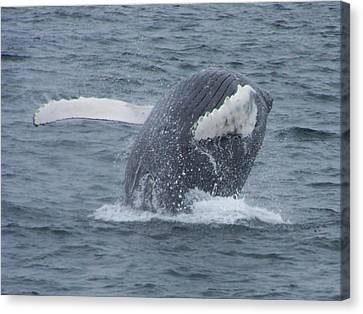 Humpback Breach Canvas Print by Noreen HaCohen