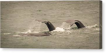 Canvas Print featuring the photograph Humpback Flukes by Janis Knight