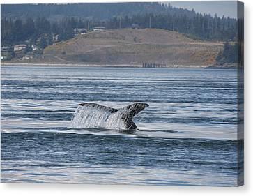 Humpback Whale - 0012 Canvas Print