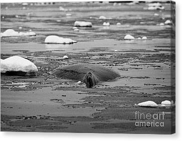 humpback whale back and dorsal fin megaptera novaeangliae logging or sleeping in Fournier Bay Antarc Canvas Print by Joe Fox