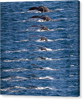 Humpback Whale Dive Sequence Canvas Print by Mr Bennett Kent