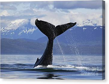 Humpback Whale Lifting Massive Tail Flukes High Surrounded By Snowcapped Mountains In Alaska Canvas Print