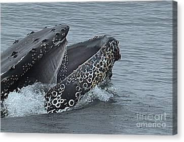 Canvas Print featuring the photograph Humpback Whale  Lunge Feeding 2013 In Monterey Bay by California Views Mr Pat Hathaway Archives