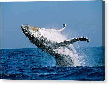Humpback Whale Megaptera Novaeangliae Canvas Print by Panoramic Images