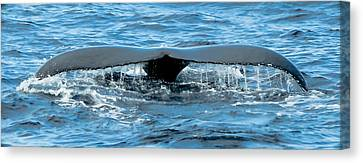 Humpback Whale Tail Off Bermuda Canvas Print by Jeff at JSJ Photography