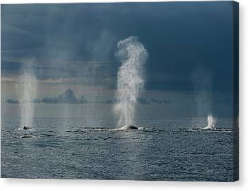 Blowhole Canvas Print - Humpback Whales Blowing by Christopher Swann