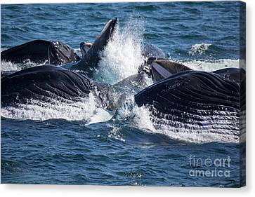 Humpback Whales Feeding Canvas Print
