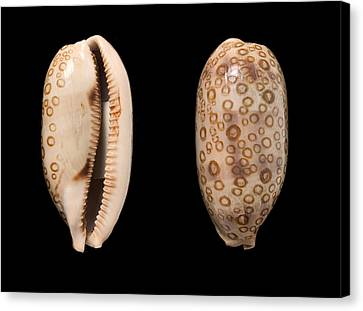 Hundred-eyed Cowrie Shells Canvas Print