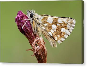 Hungarian Skipper Butterfly Canvas Print