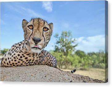 Cheetah Canvas Print - Hungry Cheetah by Alessandro Catta