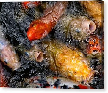 Canvas Print featuring the photograph Hungry Koi Fish by John Swartz