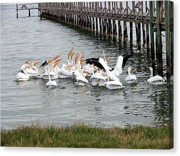 Canvas Print featuring the photograph Hungry Pelicans by Linda Cox