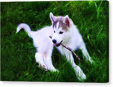Huskie Pup Playing Fetch Canvas Print by Bill Cannon