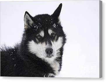 Husky Dog Breading Centre Canvas Print