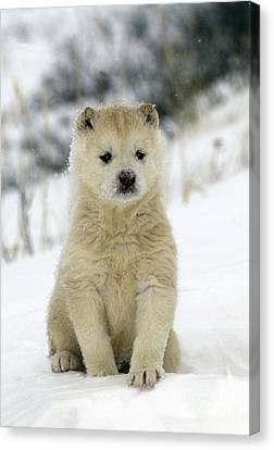 Husky Dog Puppy Canvas Print by M. Watson