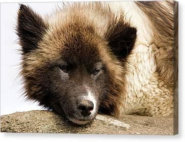Husky Dog, Tasiilaq (ammassalik Canvas Print