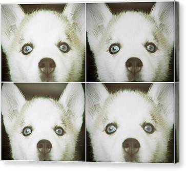 Husky Face Canvas Print by Susan Stone