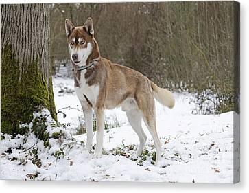 Husky In Snow Canvas Print
