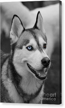 Canvas Print featuring the photograph Husky Portrait by Vicki Spindler
