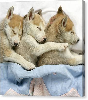Husky Canvas Print - Husky Puppies Asleep In Bed by John Daniels