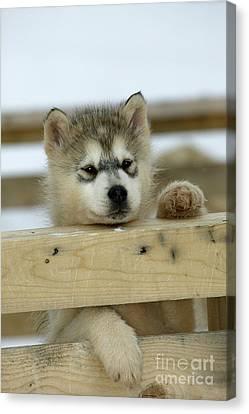 Husky Puppy Dog Canvas Print by M. Watson