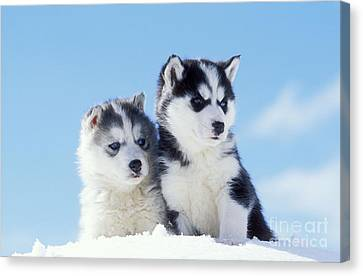 Husky Puppy Dogs Canvas Print