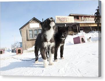 Husky Sled Dog Puppies Canvas Print by Science Photo Library