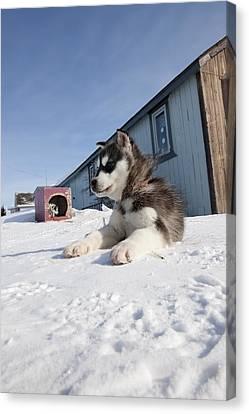 Husky Sled Dog Puppy Canvas Print