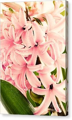 Hyacinth Flower Canvas Print