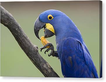 Hyacinth Macaw Feeding On Palm Nut Canvas Print