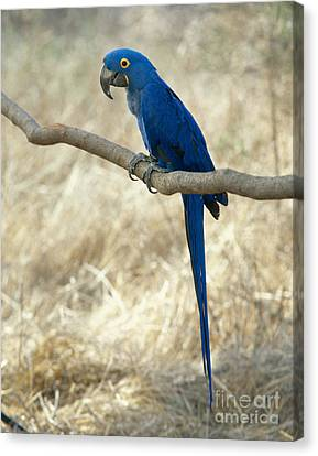 Hyacinth Macaw Canvas Print by Hans Reinhard