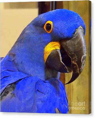 Hyacinth Macaw Portrait Canvas Print