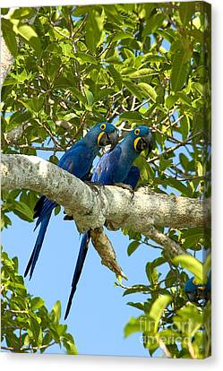 Hyacinth Macaws Brazil Canvas Print by Gregory G Dimijian MD