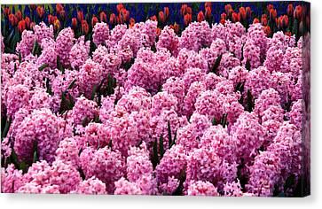 Hyacinth's In Amsterdam Canvas Print