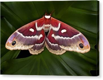 Hyalophora Moth Canvas Print