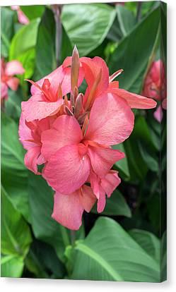 Canna Canvas Print - Hybrid Cana Lily, Usa by Lisa S. Engelbrecht