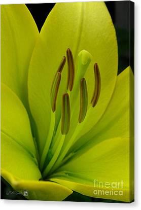 Hybrid Lily Named Trebbiano Canvas Print by J McCombie