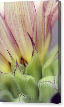 Canvas Print featuring the photograph Hybrid Sunflower by Holly Ethan
